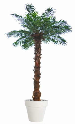 Majesty Queen Palm 300 cm Green